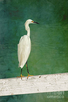 The Small White Heron - Snowy Egret Poster