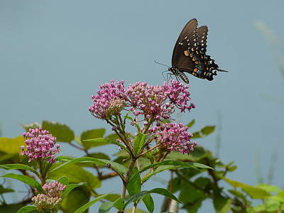 The Spicebush Swallowtail Of Prettyboy Reservoir Poster by Donald C Morgan