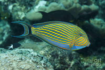 The Striped Surgeonfish  Acanthurus Poster by Dave Fleetham