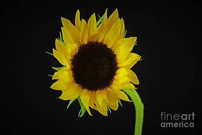The Sunflower Poster by Ray Shrewsberry