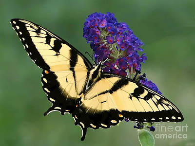 Poster featuring the photograph The Swallowtail by Sue Melvin