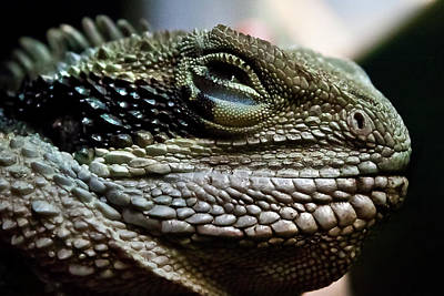 The Sweet Face Of A Dragon Poster by Miroslava Jurcik