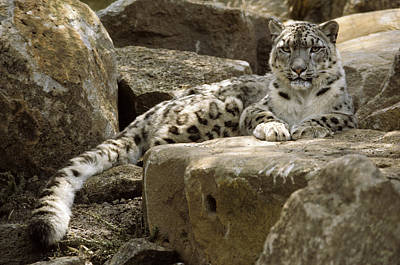 The Watchful Stare Of A Snow Leopard Poster