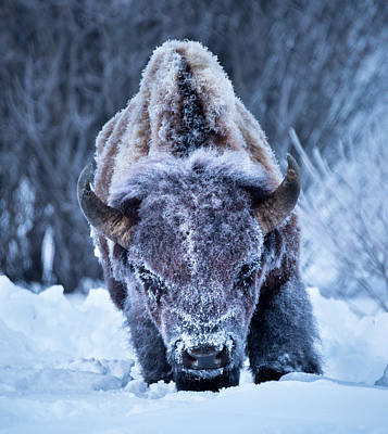 Poster featuring the photograph The Weary King // Yellowstone National Park  by Nicholas Parker