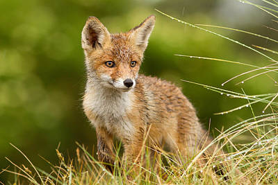 The Wet Fox Kit Poster by Roeselien Raimond