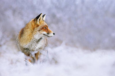 The White, Red And Blue- Red Fox In The Snow Poster by Roeselien Raimond