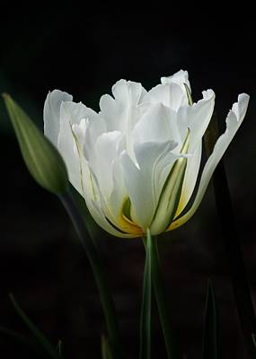 Poster featuring the photograph The White Tulip by Richard Cummings
