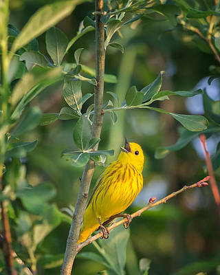 Poster featuring the photograph The Yellow Warbler by Bill Wakeley