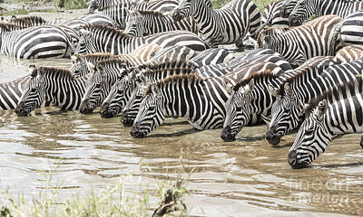 Thirsty Zebras Poster by Pravine Chester