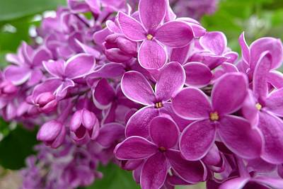 This Lilac Has Flowers With A White Edging. 5 Poster
