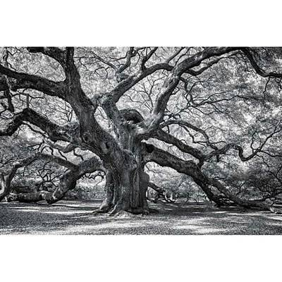 This Tree Is Located In Charleston Poster