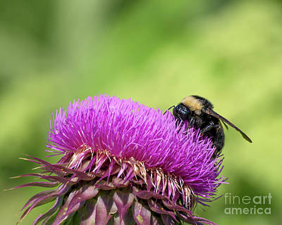 Thistle And Bee Poster