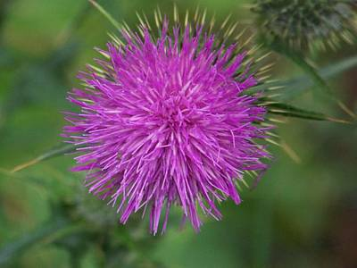 Poster featuring the photograph Thistle by Angi Parks