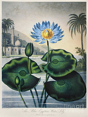 Thornton: Water Lily Poster