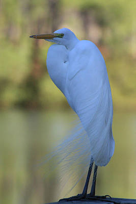 Poster featuring the photograph Thoughtful Heron by Kim Henderson