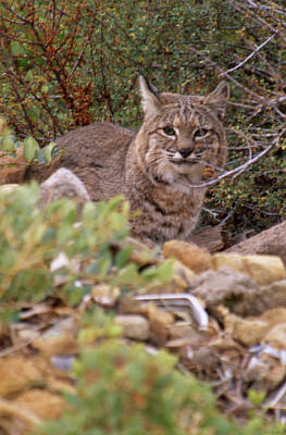 Thoughtful Stare Poster by Soli Deo Gloria Wilderness And Wildlife Photography