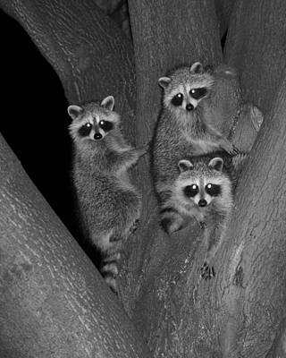 Three Baby Raccoons Poster by Marlin and Laura Hum