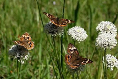 Three Buckeye Butterflies On Wildflowers Poster
