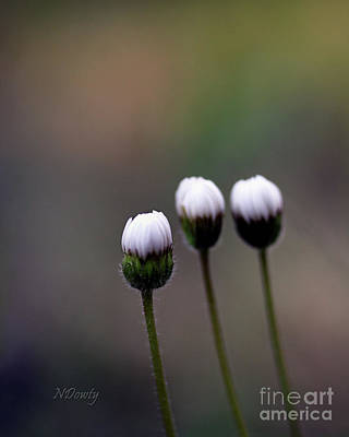 Three Buds Sprawling Daisy Poster