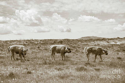 Poster featuring the photograph Three Buffalo Calves by Rebecca Margraf
