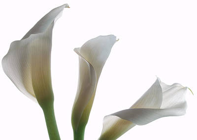 Three Calla Lilies Poster by Terence Davis