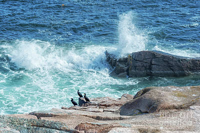 Three Cormorants At Monument Cove, Acadia National Park Poster