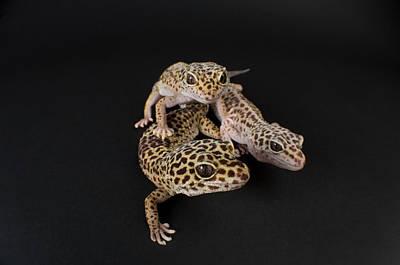 Three Female Leopard Geckos Eublepharis Poster by Joel Sartore