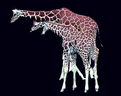 Three Giraffes Poster by Merton Allen