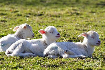 Three Little Lambs Poster