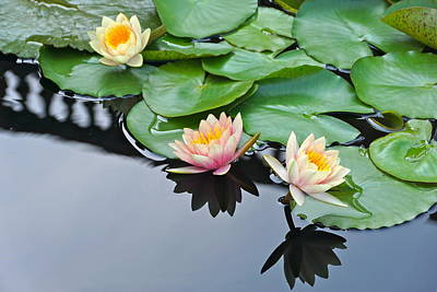 Three Lovely Hardy Waterlily Blossoms Poster by Byron Varvarigos