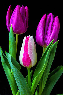 Three Lovely Tulips Poster by Garry Gay