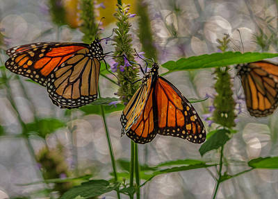 Three Monarch Butterfly Poster