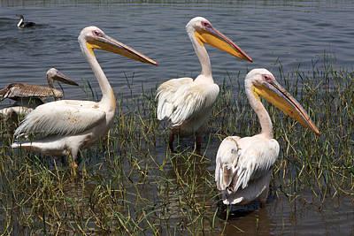 Three Pelicans Poster by Aidan Moran