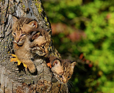 Three Sibling Bobcat Kittens Looking Out From A Tree Hollow Den  Poster