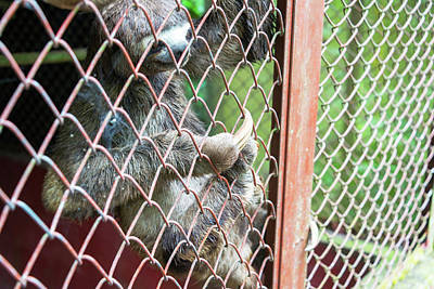 Three Toed Sloth In A Cage Poster