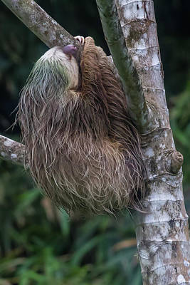 Poster featuring the photograph Three Toed Sloth by John Haldane