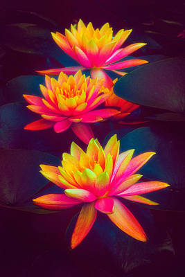 Poster featuring the photograph Three Waterlilies by Chris Lord