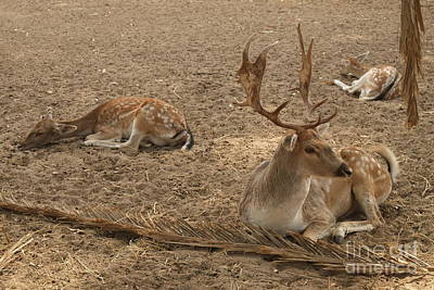 Three Deer Resting Poster