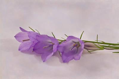 Three Wild Campanella Blossoms - Macro Poster
