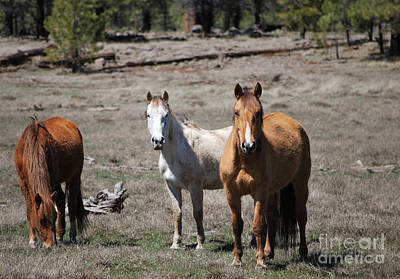 Poster featuring the photograph Three Wild Horses by Donna Greene