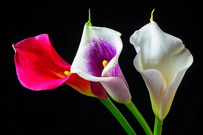 Three Wonderful Calla Lilies Poster