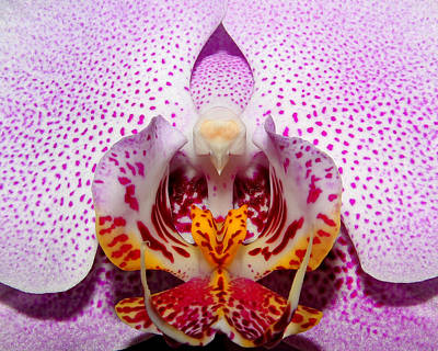Poster featuring the photograph Throat Of An Orchid by Judy Vincent