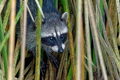 Through The Reeds - Raccoon Poster