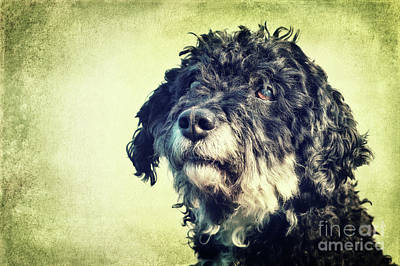 Tibet-terrier Poodle Mix  Poster by Angela Doelling AD DESIGN Photo and PhotoArt