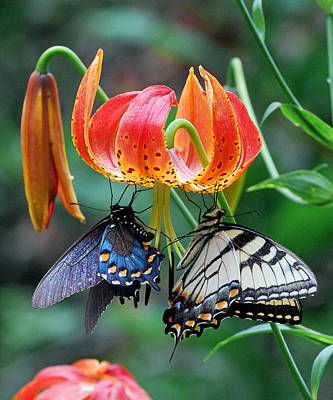 Tiger And Black Swallowtails On Turk's Cap Lilly Poster by Alan Lenk
