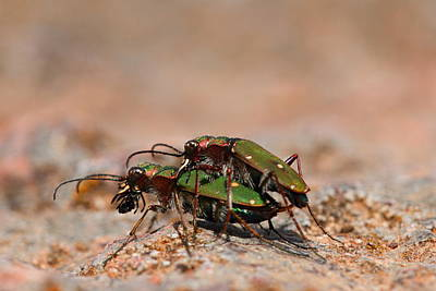 Poster featuring the photograph Tiger Beetle by Richard Patmore