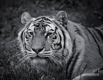 Tiger In The Grass Poster by Darcy Michaelchuk