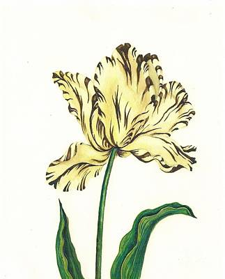 Striped Tulip Poster