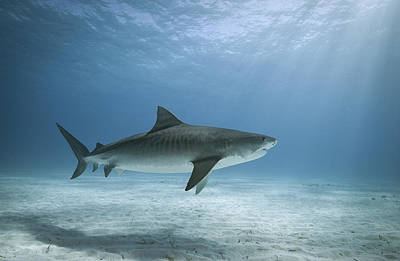 Tiger Shark In Water Poster by Alastair Pollock Photography