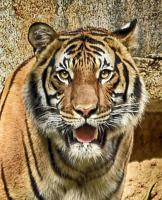 Tiger Smile Poster by Lynn Andrews